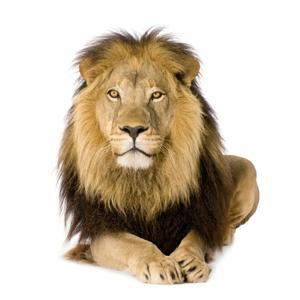 Le lion (La vie du lion racontée en musique)